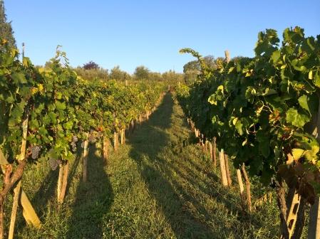 トスカーナ地方のブドウ畑